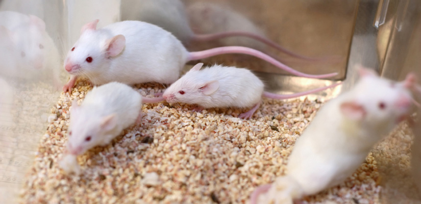 Image of white mice in enclosure from Hapman Application Review